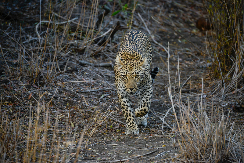 Mother Leopard creeping straight toward our Landrover.