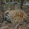 Londolozi is famous for its leopard population.