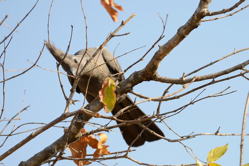 "The gray ""go-away"" bird (lourie), named for its bizarre sounding call."
