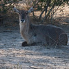 Waterbuck female.