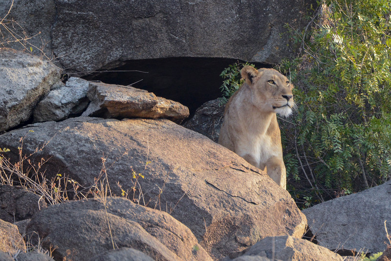 Lioness leaves the cave.