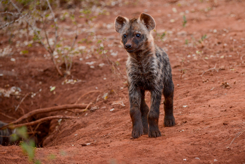 Hyena cub in front of its den (hole).