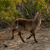 Female Waterbuck.