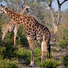 Male giraffe. Note the oxpeckers ridding them of ticks and other insects.
