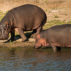 Hippo mother and child.