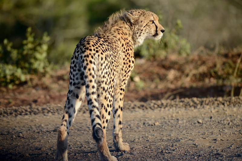 Cheetah have the ability to accelerate from 0 to 103 km/h (64 mph) in three seconds.