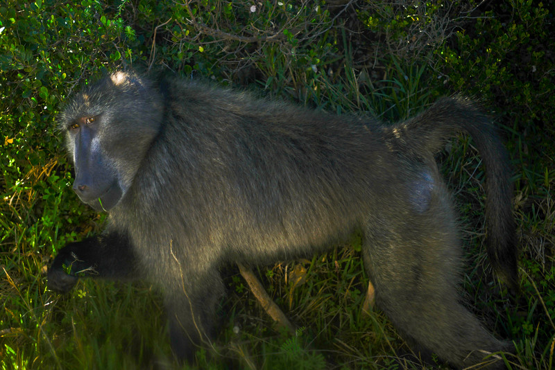 Chacma Baboon (or Cape Baboon). They live in troops of 10 to 150 animals and wiegh up to 190 pounds (85 kg). They live up to 30 years. They share 92% of their DNA with you!