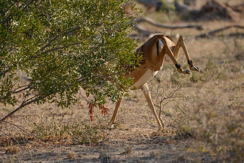 Male impala sprints away.