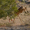 Male impala sprints away.