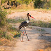 A Saddle-Billed Stork.