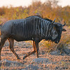 Male wildebeest.