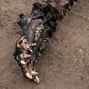 Hippo skull.