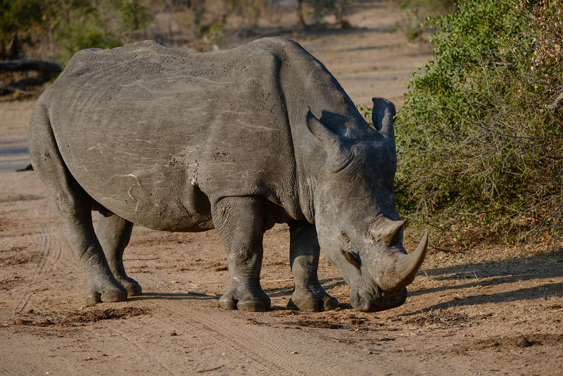 Symbiotic relationship between the powerful Rhino and the bird.