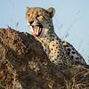 Cheetah yawn.
