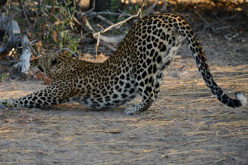 """Leopard performing """"downward dog"""" yoga move (downward cat?)."""