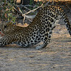 "Leopard performing ""downward dog"" yoga move (downward cat?)."