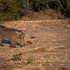 "Warthogs ""kneel"" to get close to the short grasses."