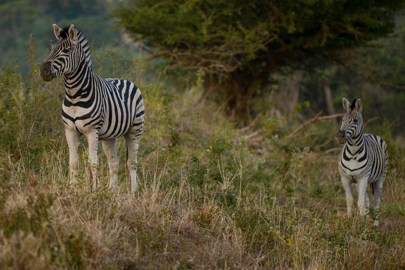"Mom and child zebra (pronounced like ""Debra"")."
