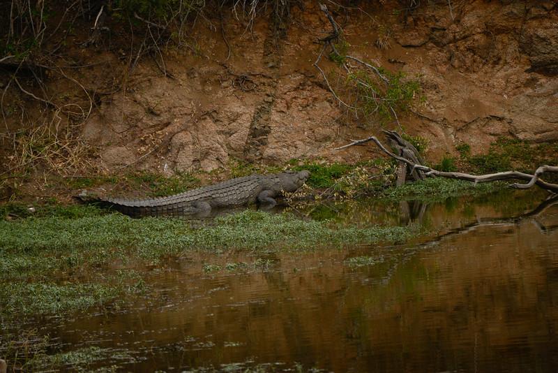 A Nile Crocodile on the move.