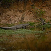 A Nile Crocodile on the move.