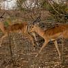 Impala males.