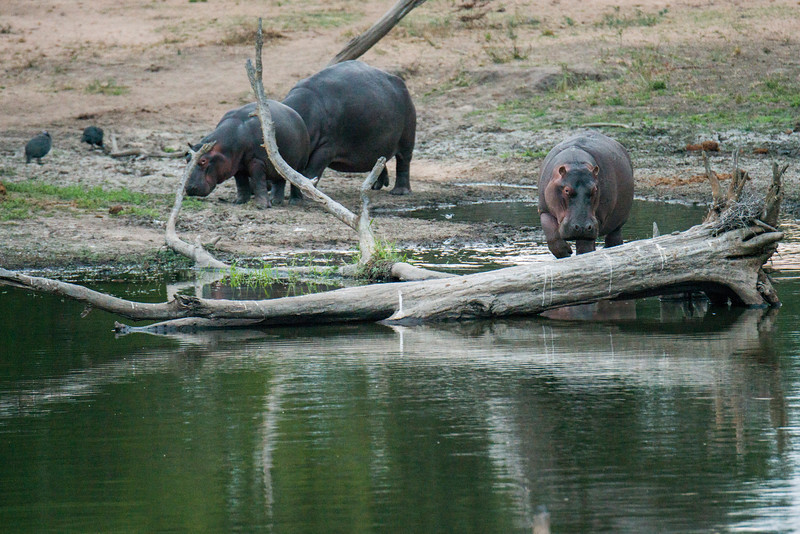 Hippo cruising back to their water home.