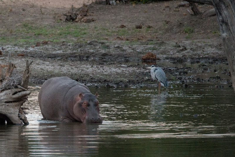 Mother Hippo and Grey Heron.