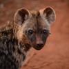 Hyena cub.