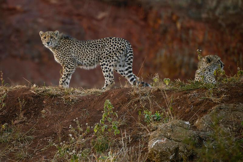 Phinda Cheetah and cub.