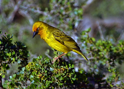 CAPE WEAVER - DE HOOP NATURE RESERVE