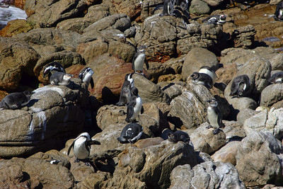 AFRICAN PENGUINS - BETTY'S BAY