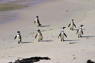 AFRICAN PENGUINS - BOULDERS BEACH