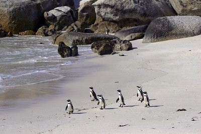 AFRICAN PENGUINS - BOULDERS BEACH