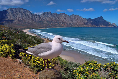 HARTLAUB'S GULL - FALSE BAY