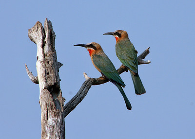 WHITE FRONTED BEE EATERS
