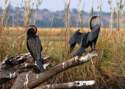 SNAKE BIRDS
