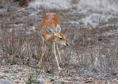 STEENBOK - SOUTH AFRICA