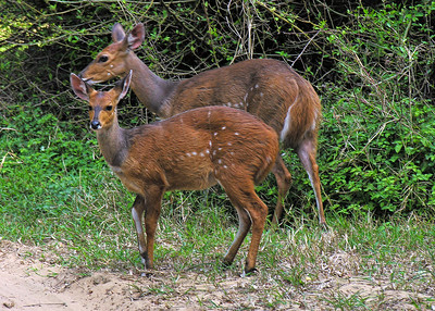 BUSHBUCKS - CAPE VIDAL