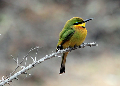 LITTLE BEE EATER - GOMO GOMO