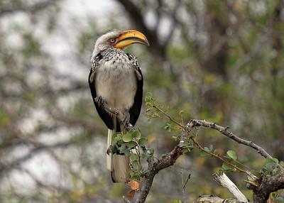 YELLOW BILLED HORNBILL - GOMO GOMO