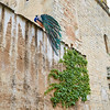 Caceres Peacock in old city wall at Extremadura