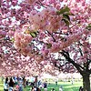 Through the eyes of cherry blossoms