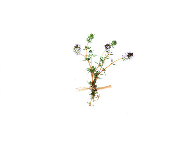 English Thyme _ Thymus Vulgaris