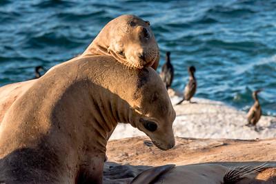 Seals in Lajolla, CA