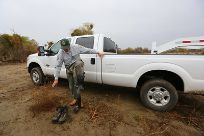 NEWMAN,CA-- California Department of Fish and Game environmental scientist Matt Bigelow puts on waders to retrieve salmon caught in a net at the Hills Ferry Barrier in Newman. The salmon were later released upstream in Fresno as part of the San Joaquin River restoration program.