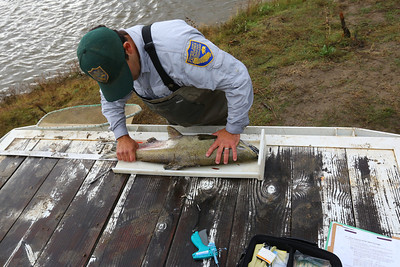 NEWMAN,CA-- A fall run Chinook salmon ismeasured and tagged by California Department of Fish and Game's environmental scientist Matt Bigelow at the Hills Ferry Barrier in Newman and was later released upstream as part of the San Joaquin River restoration program.