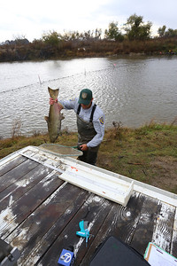 NEWMAN,CA-- A fall run Chinook salmon is readied for measuring and tagging by California Department of Fish and Game's environmental scientist Matt Bigelow at the Hills Ferry Barrier in Newman and was later released upstream as part of the San Joaquin River restoration program.