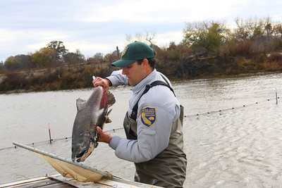 NEWMAN,CA-- A fall run Chinook salmon is measured and tagged by California Department of Fish and Game's environmental scientist Matt Bigelow at the Hills Ferry Barrier in Newman and was later released upstream as part of the San Joaquin River restoration program.