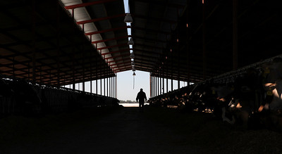 """Delhi,CA---Ray Prock, Jr. walks through an open-air feeding barn. Prock is a second generation dairy farmer who runs Ray-Lin dairy and is on a mission to empower farmers use social media to tell their stories. Prock is widely popular in agriculture circles with a Twitter following of some 11,000 subscribers. Prock says he treats his 500 Holstein and Jersey cows well and runs a green operation. Prock's has blog postings dealing with """"the Animal Rights activists use of sensationalism,"""" on his Wordpress blog."""