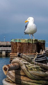 Kemmerer___A gull at Fisherman's Wharf